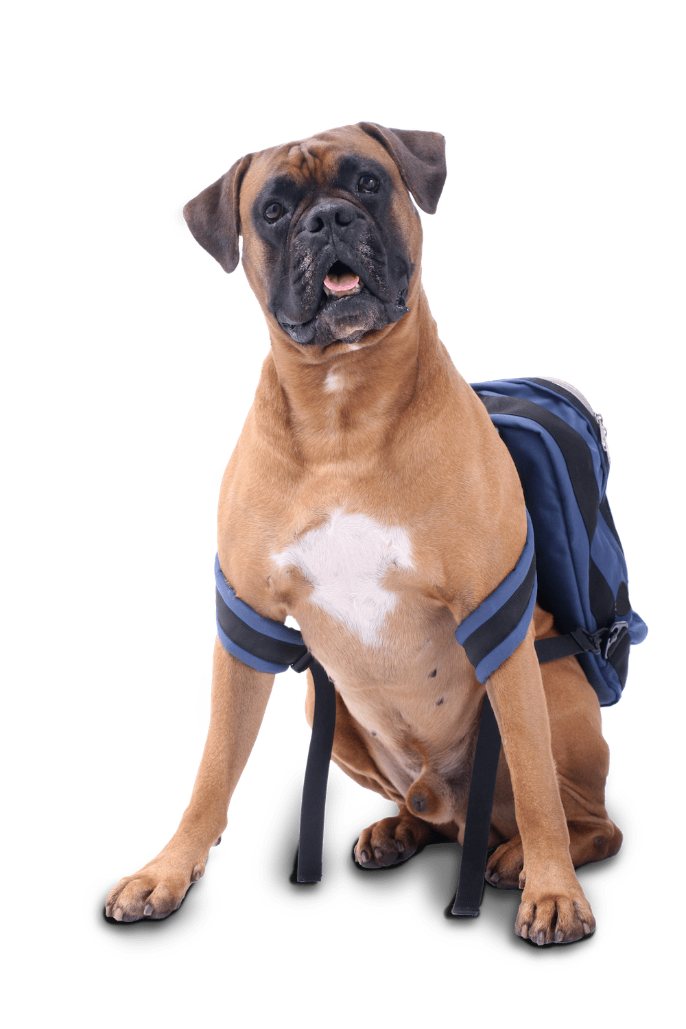 Dog with Blue Backpack Sitting