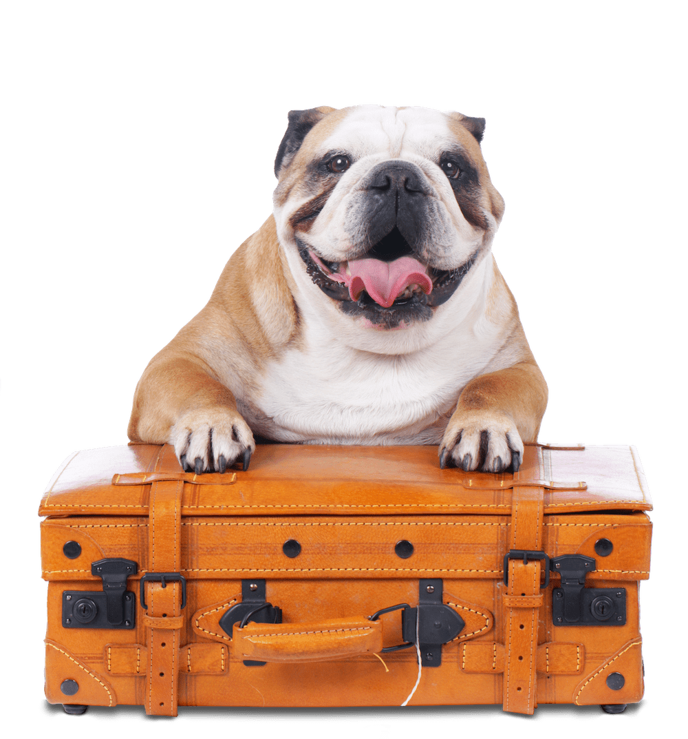 Bulldog on Suitcase