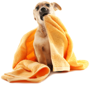 dog biting towel