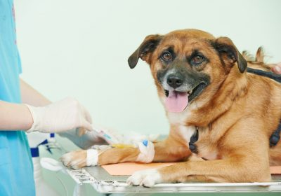 Why Your Veterinarian Wants Blood Work for Your Dog